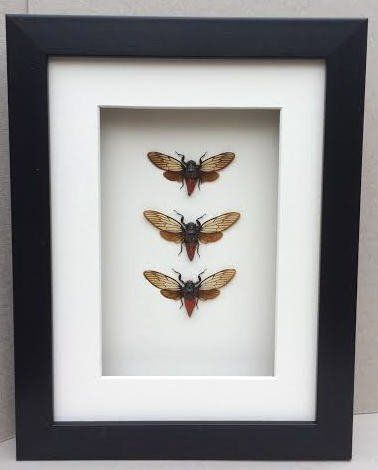 Brushed Black Resin Shadow Box Frame with Mount.  Available  at Trade Prices in Pack Sizes from 8 to 20. From 5.15 + Vat Per Frame.  27 Sizes Available from 4x6'' to A2.  Moulding: 20mm Wide x 32mm Deep with 19mm Gap Between Back of Glass and Back of Fram